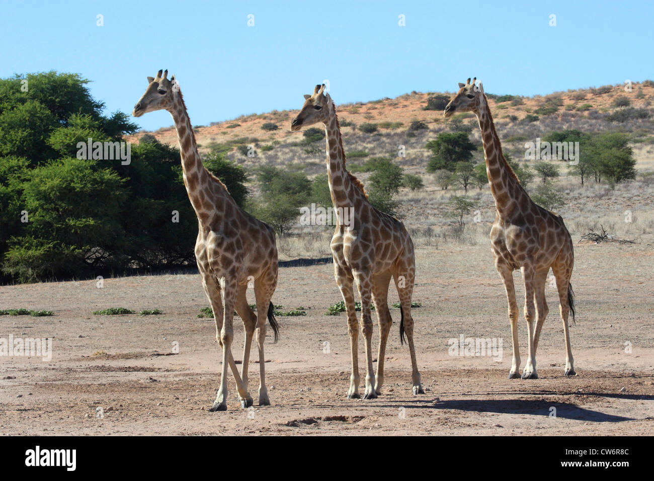 giraffe (Giraffa camelopardalis), three animals walking through the steppe side by side, South Africa, Kgalagadi Transfrontier NP Stock Photo