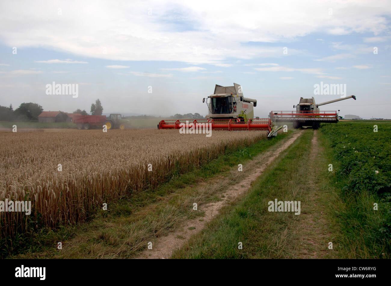 harvester harvesting a wheat field, Germany, Bavaria - Stock Image