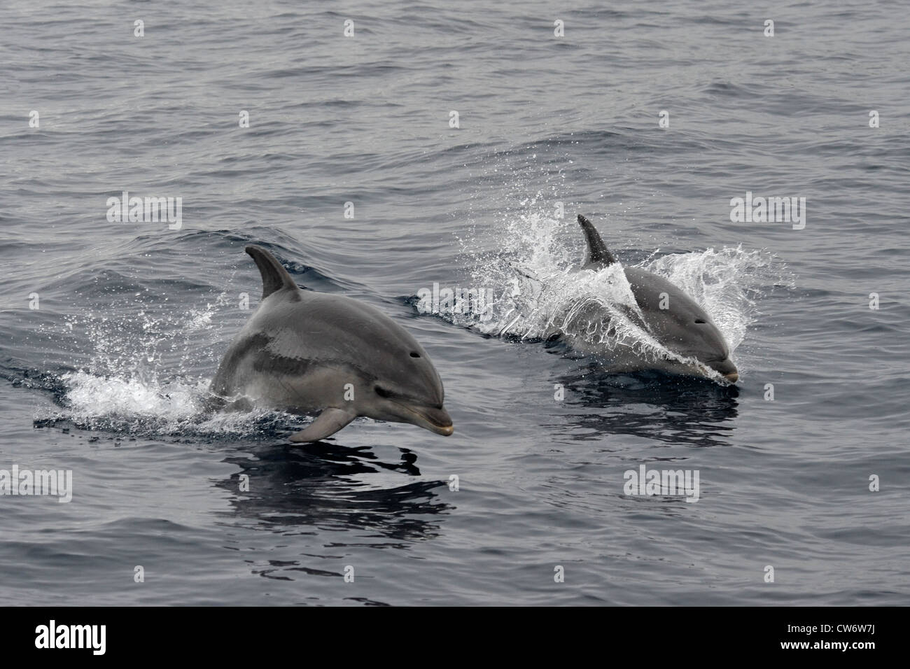 Common Bottlenose Dolphins, Tursiops truncatus, two dolphins surface simultaneously, Azores, Atlantic Ocean. - Stock Image