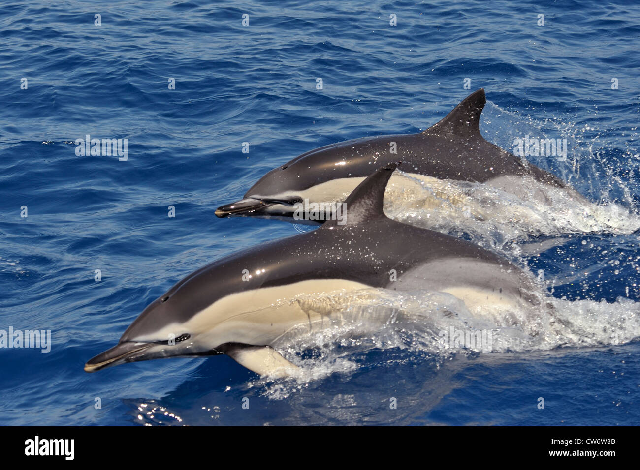 Two Short-beaked Common Dolphins, Delphinus delphis, porpoising together, west of Faial Island, Azores, Atlantic - Stock Image