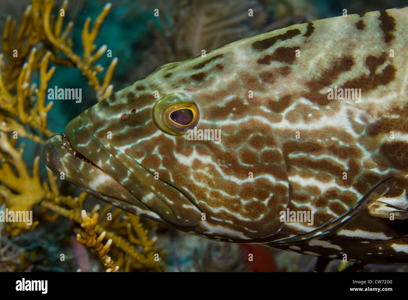 Closeup of Black grouper Stock Photo