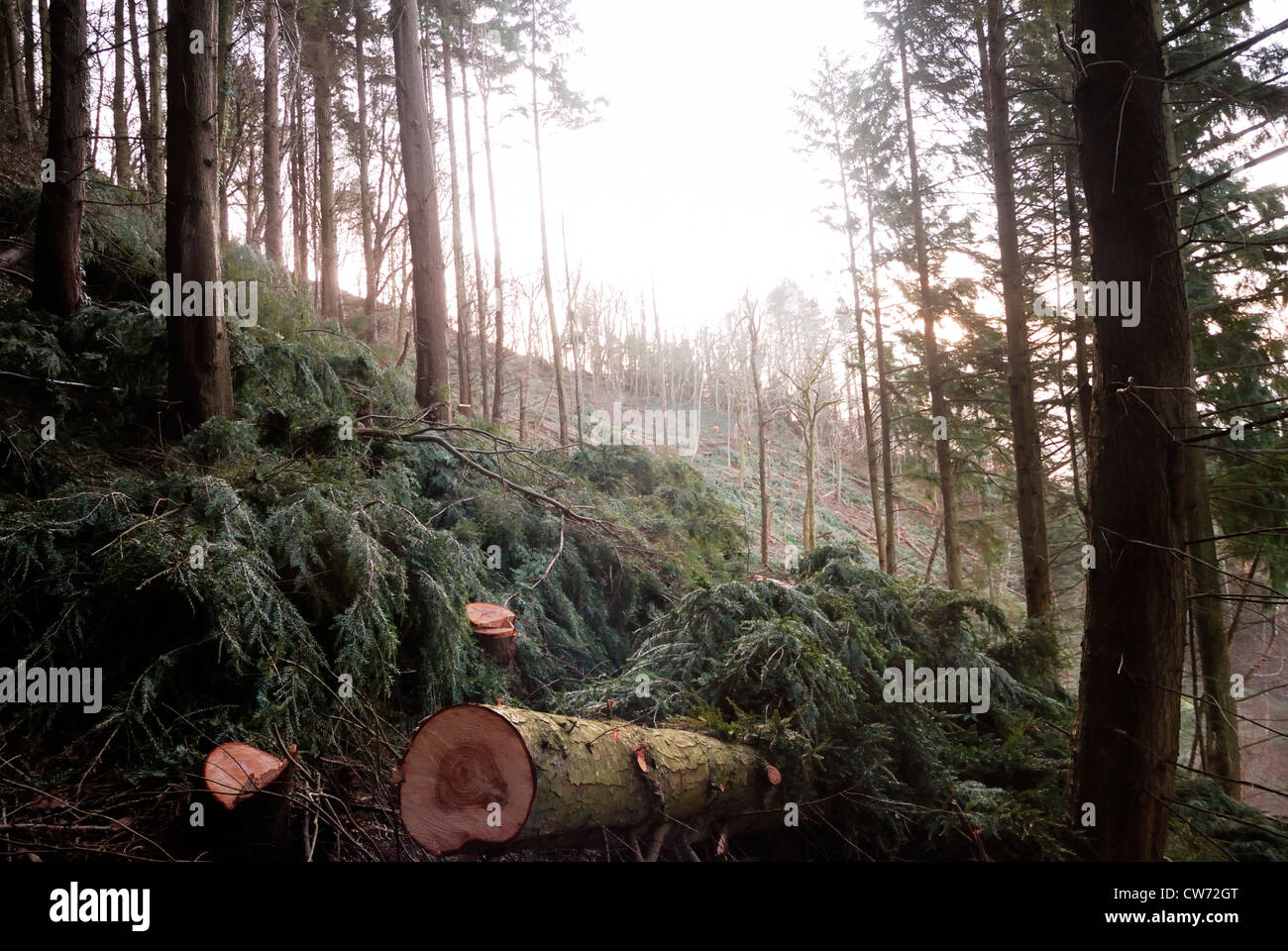 Western Hemlock conifer trees being cleared from an Ancient Woodland Site, Wales. - Stock Image
