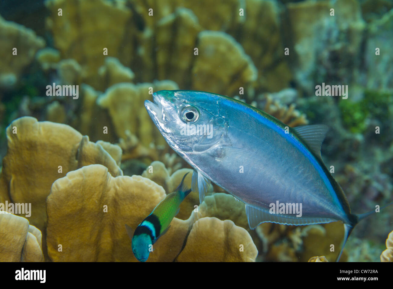Bar jack and Bluehead wrasse engaged in cleaning behavior - Stock Image