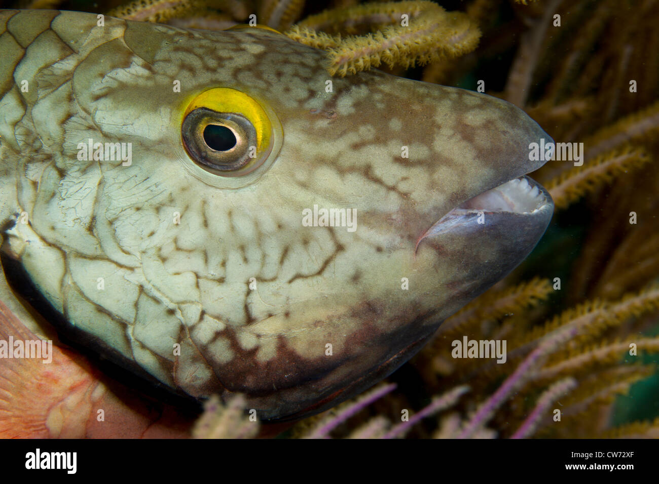 Closeup of Stoplight parrotfish (initial phase) - Stock Image