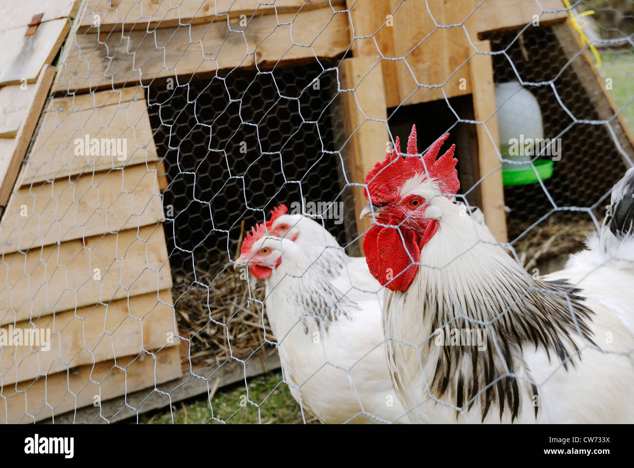 Light Sussex hens and cockerel in a moveable hen house, Wales. - Stock Image