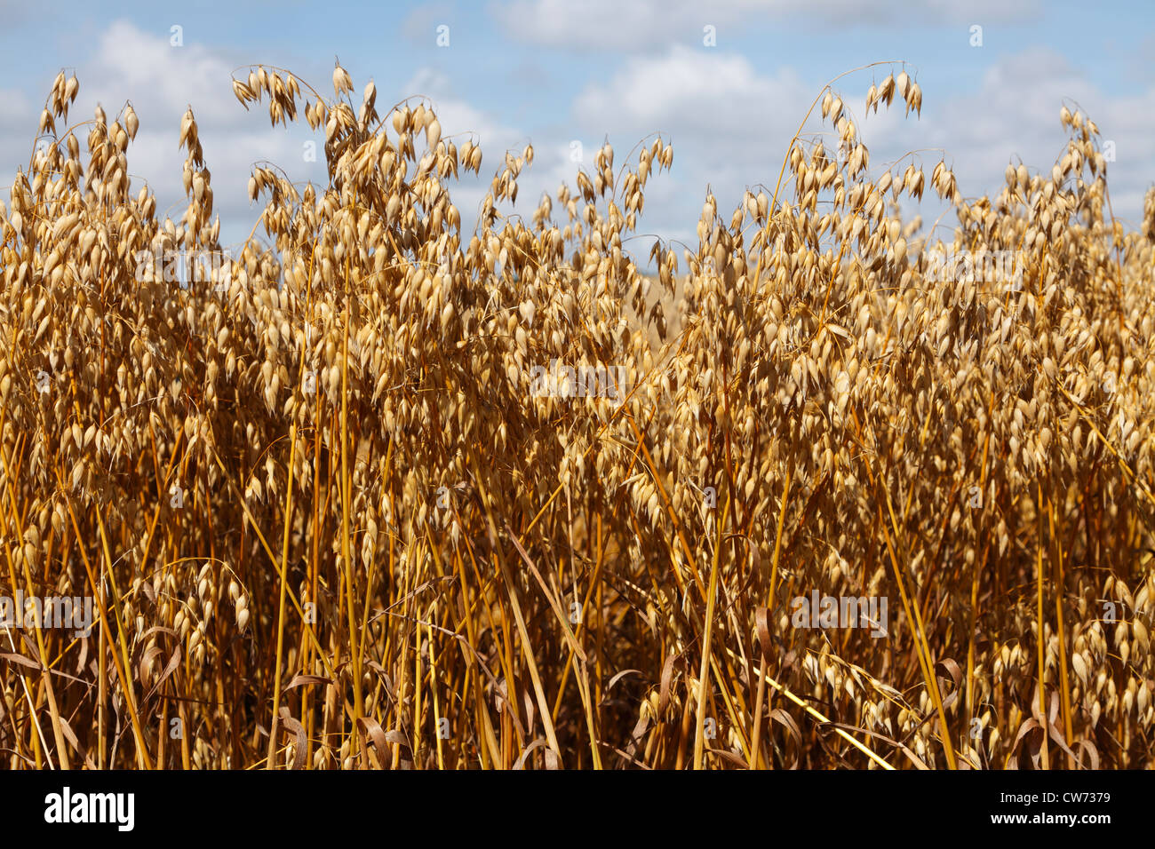 Ripe ears of oat and oat field last days before harvesting in Denmark. - Stock Image