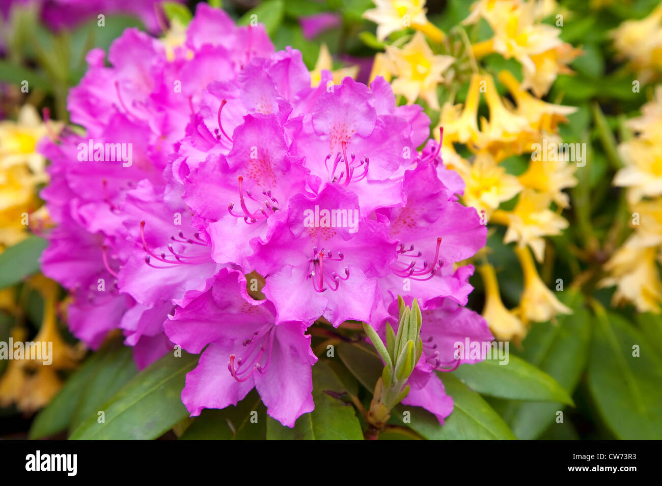 Vibrant pinkish purple rhododendron flowers in the foreground and yellow azalea flowers in the background. - Stock Image