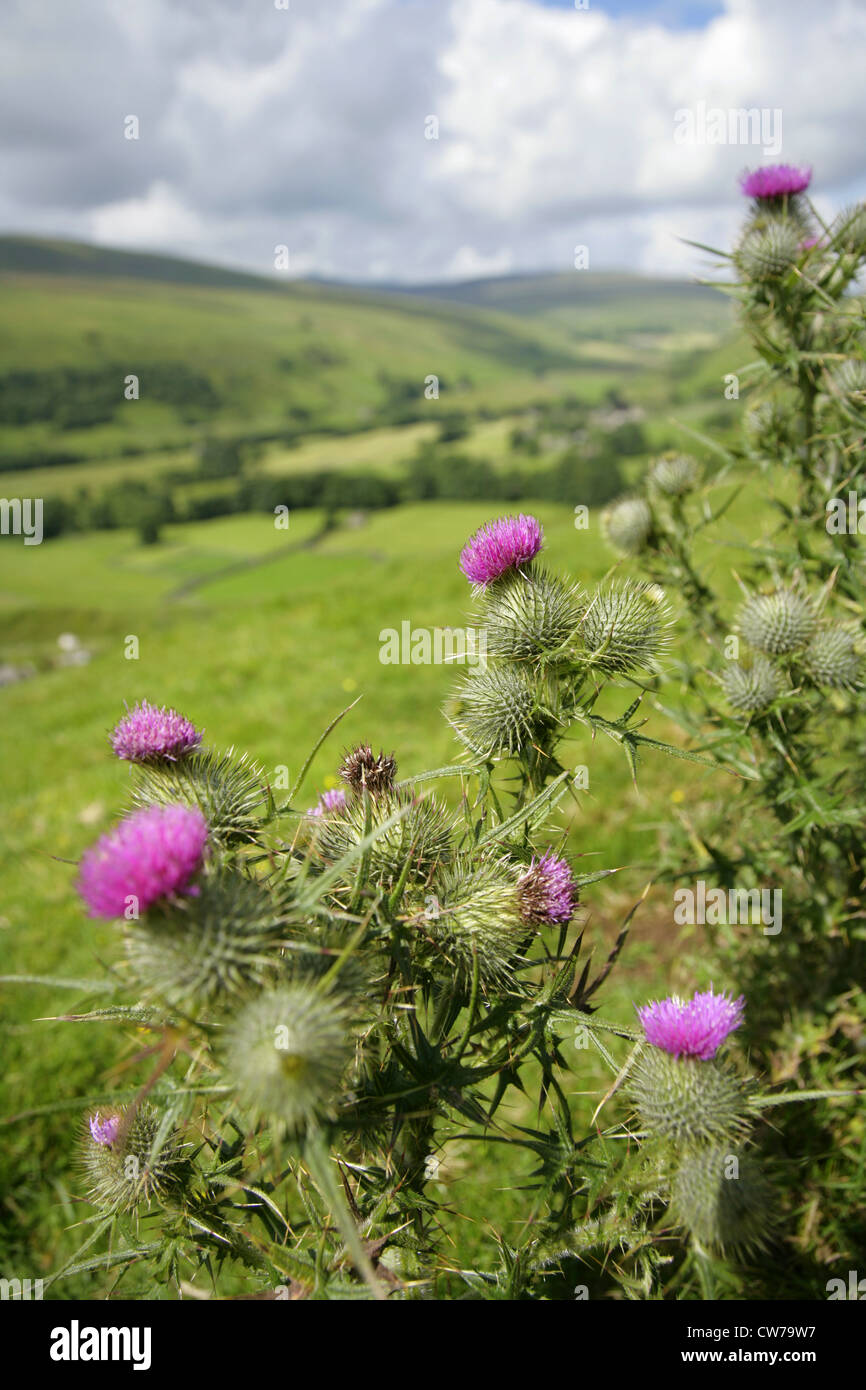 Thistles growing above the village of Litton, Littondale, Yorkshire Dales, United Kingdom, with Pen-y-Ghent in the - Stock Image