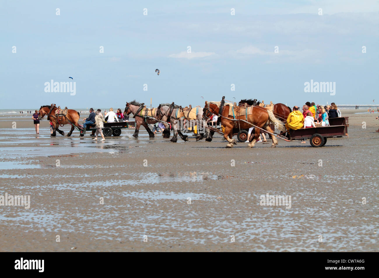 crab fisher with horses and tourists on the way to the coast, Belgium, Flanders, Oostduinkerke - Stock Image
