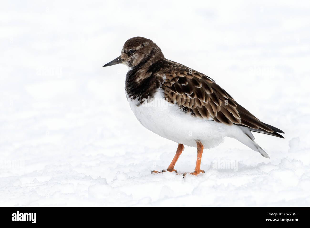 Winter plumage Turnstone - in snow - Stock Image