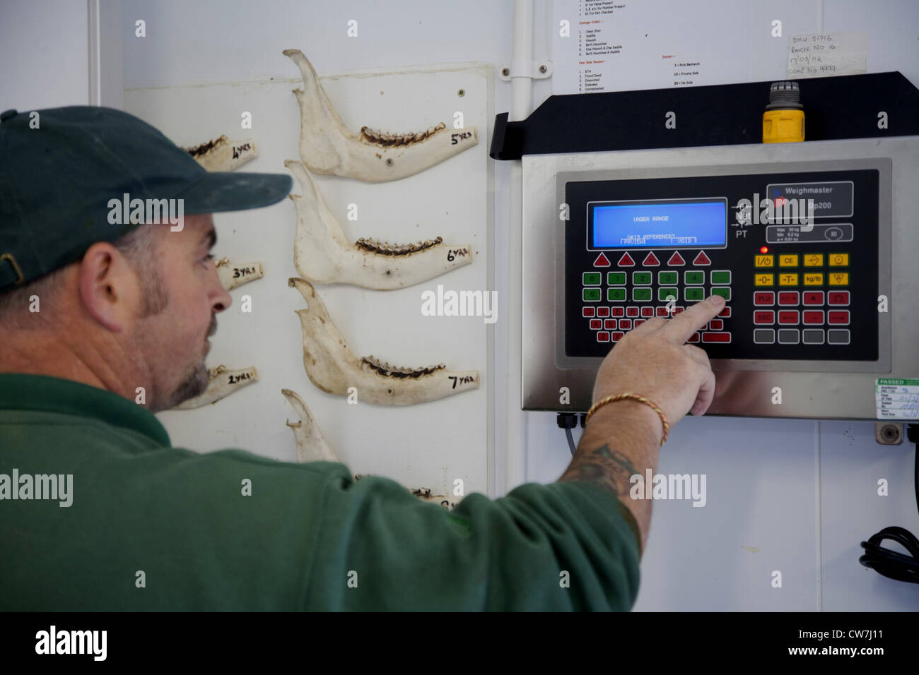Deer stalker completing data records and labelling of carcass after shooting red deer hind as part of controlled - Stock Image