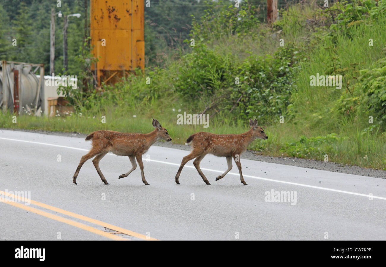 Two fawn blacktail deer crossing the street in Southeast Alaska. - Stock Image