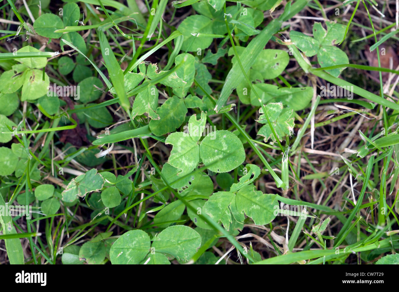 Clover Lawn Weed Stock Photos Clover Lawn Weed Stock Images Alamy