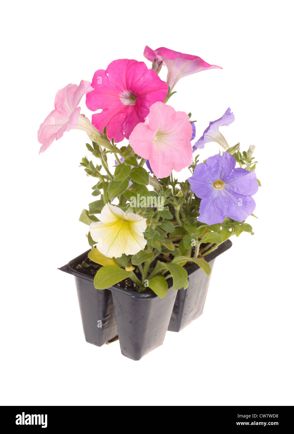 Pack of petunia seedlings ready for transplanting - Stock Image