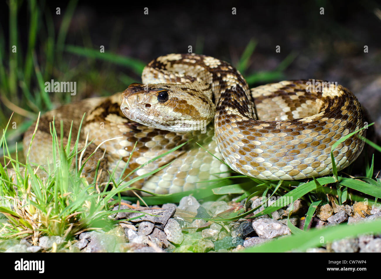 Northern Black-tailed Rattlesnake, (Crotalus molossus molossus), Black Range, Sierra county, New Mexico, USA. Stock Photo