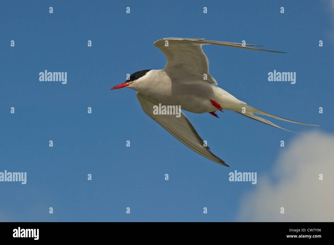An Arctic Tern flying - Stock Image
