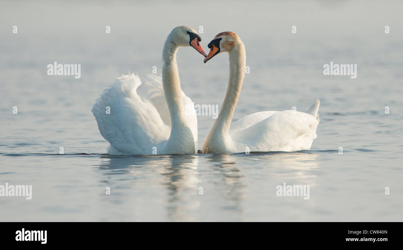 Two Mute Swans creating a Heart Shape with their necks in the River Doon, Scotland Stock Photo