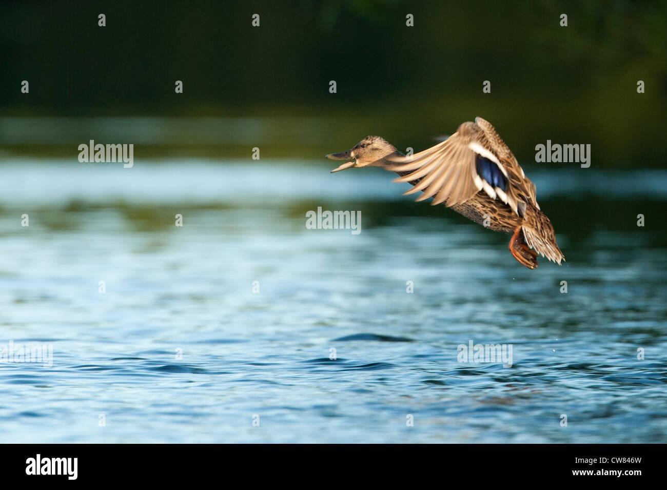 Mallard (Anas Platyrhynchos) flying over the River Doon, Scotland - Stock Image
