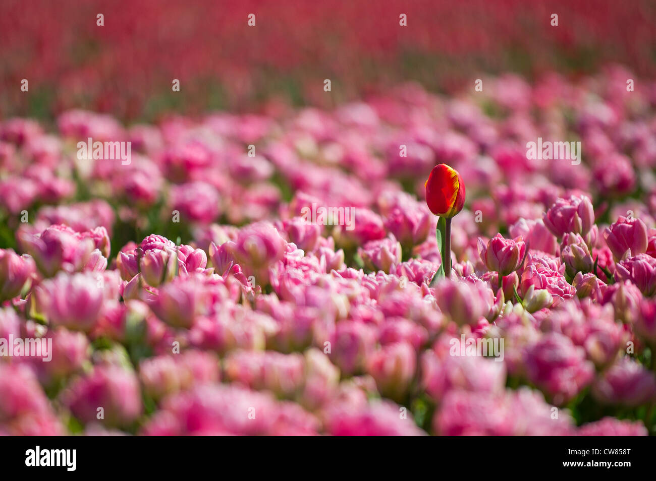 Tulips in the Dutch tulip fields - Stock Image