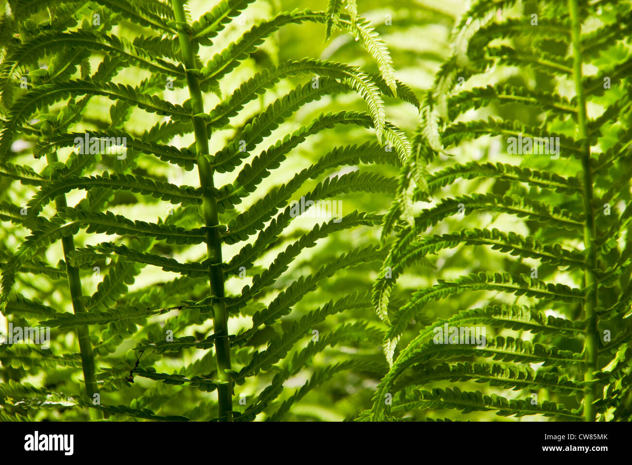 Fern leafs background Stock Photo