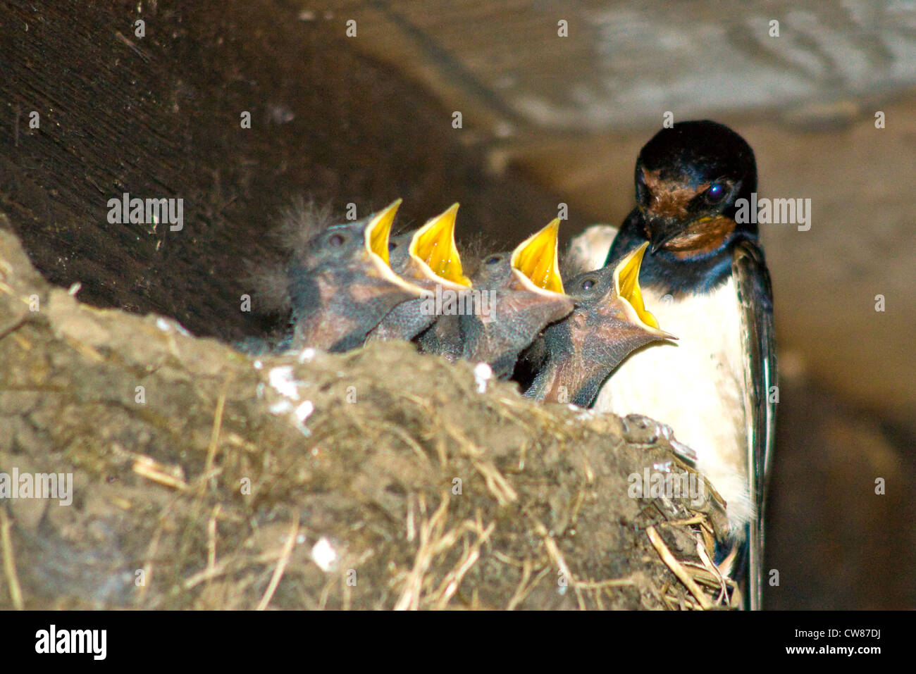 A swallow feeds it's hungry brood - Stock Image