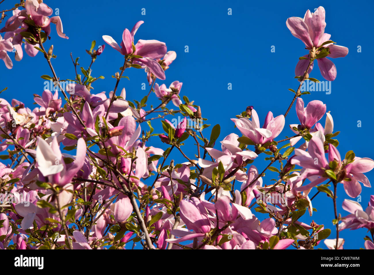 Magnolia purple flowers in a summer sunny day against a clear blue sky Stock Photo