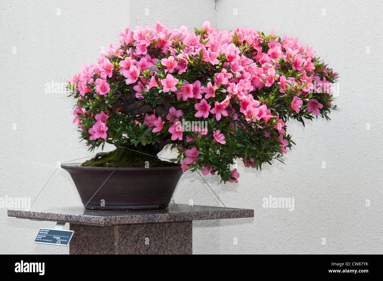 Satsuki Azalea bonsai in flowering boom Stock Photo