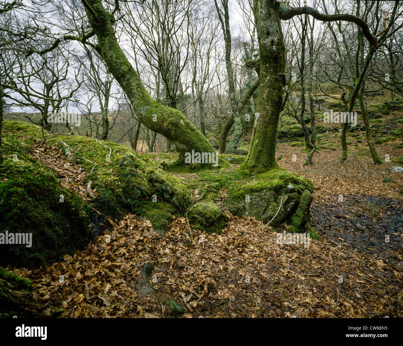 Ancient oak woodland in North Wales near Nantmor in Snowdonia National Park with moss-covered trees and rocks . - Stock Image