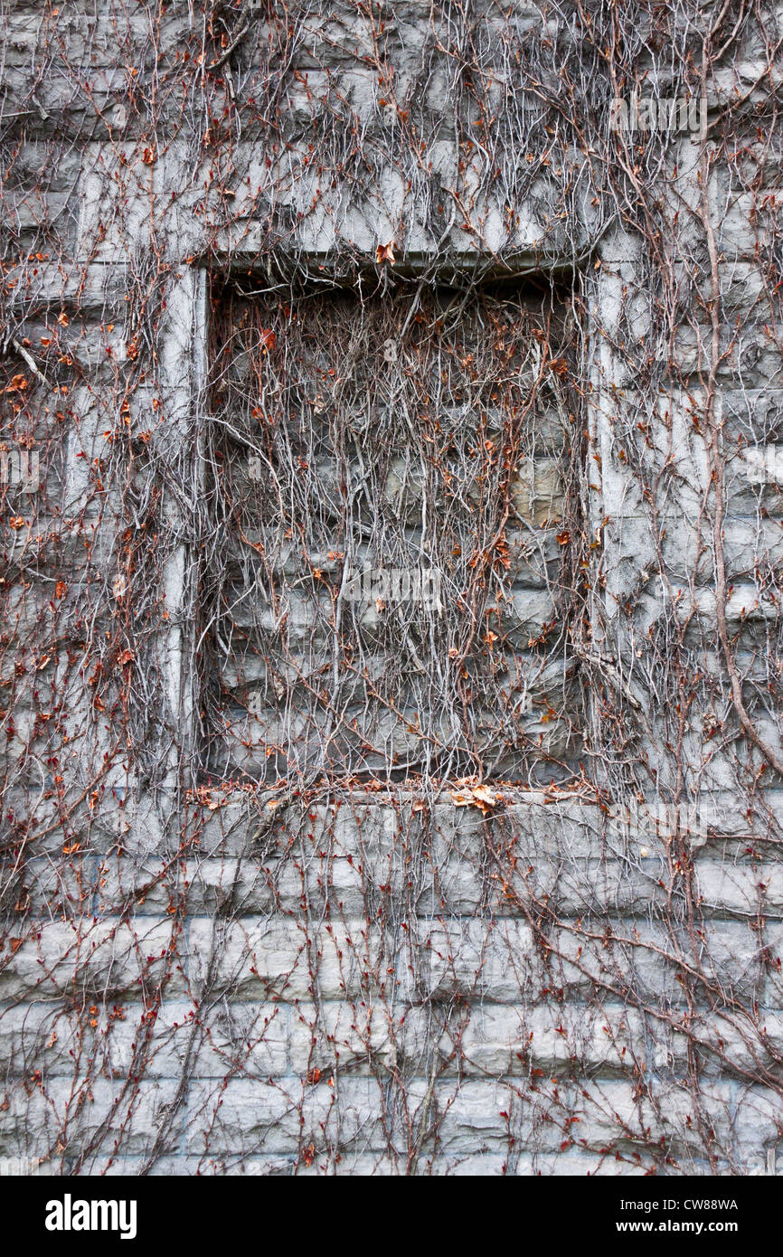 False Window covered with branches of a wild ivy on an old building Stock Photo