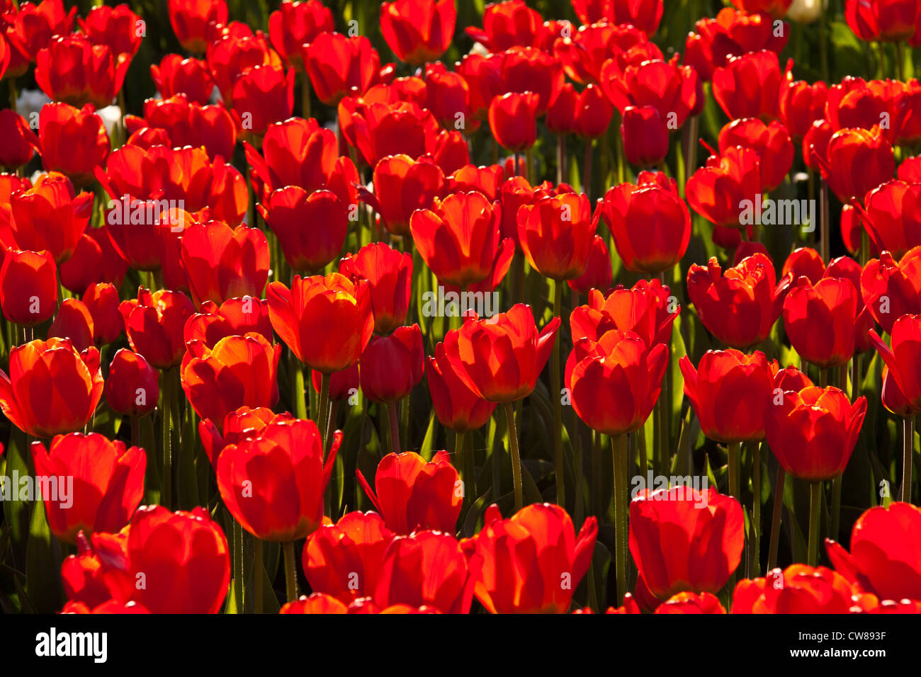 Red tulips background in contre jour like background Stock Photo