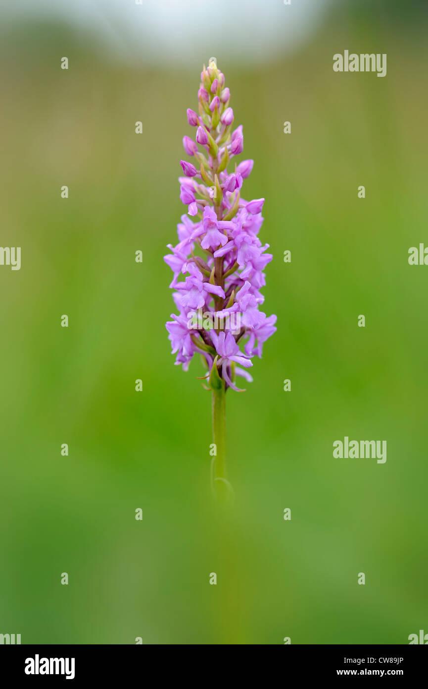 Fragrant Orchid, genus gymnadenia conopsea, Norfolk, England, July - Stock Image
