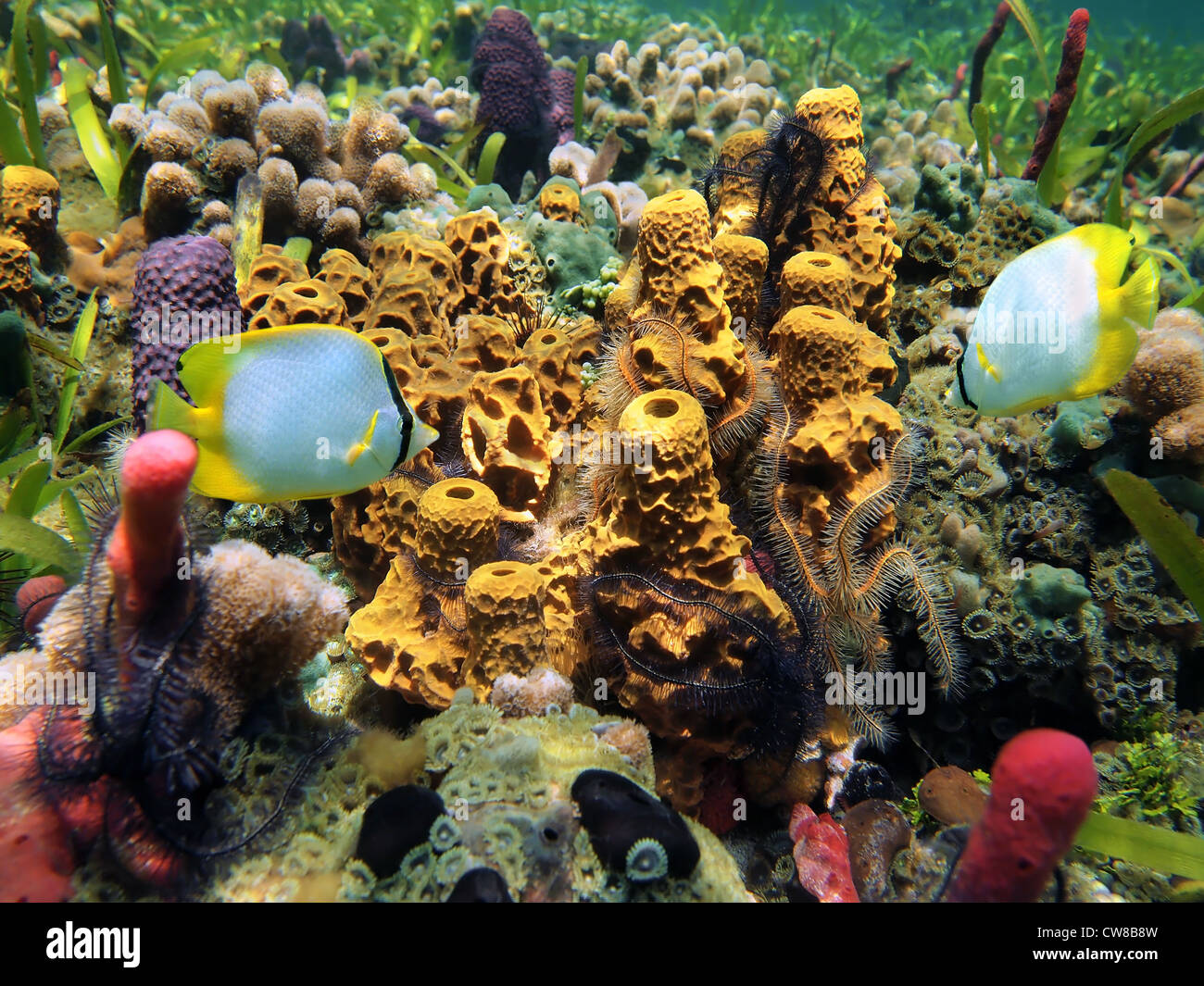 Underwater marine life, sponges, brittle stars and tropical fish in a coral reef, Caribbean sea - Stock Image