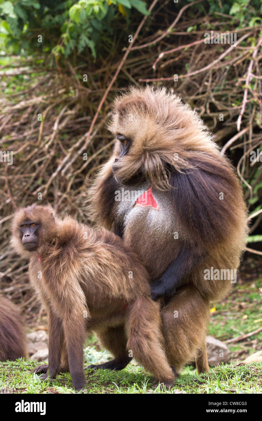 Gelada Baboons (Theropithecus gelada) mating in Simien  Mountains National Park Ethiopia. - Stock Image