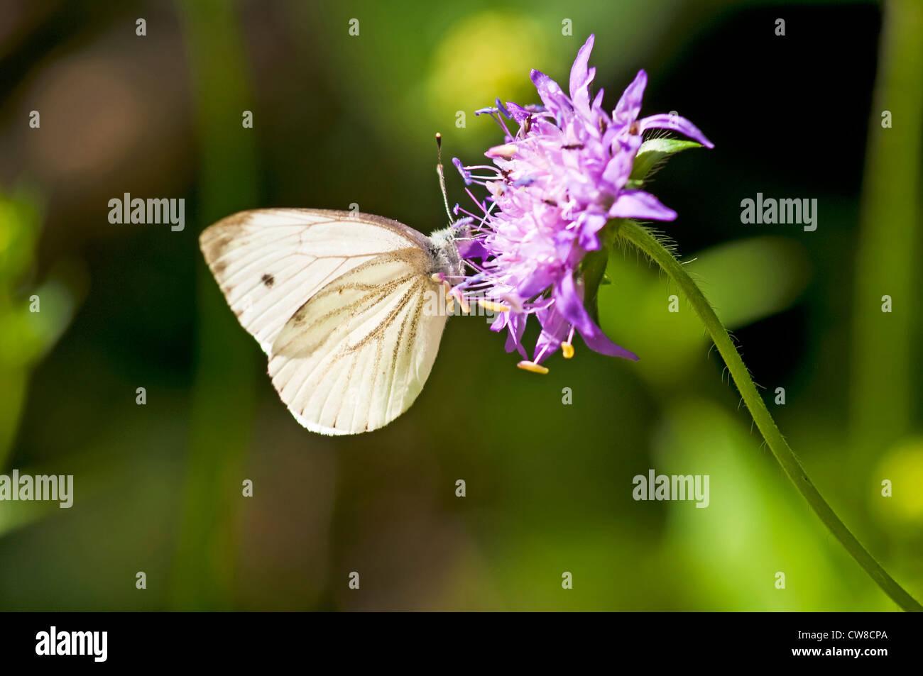 Green-veined white, Pieris napi Stock Photo