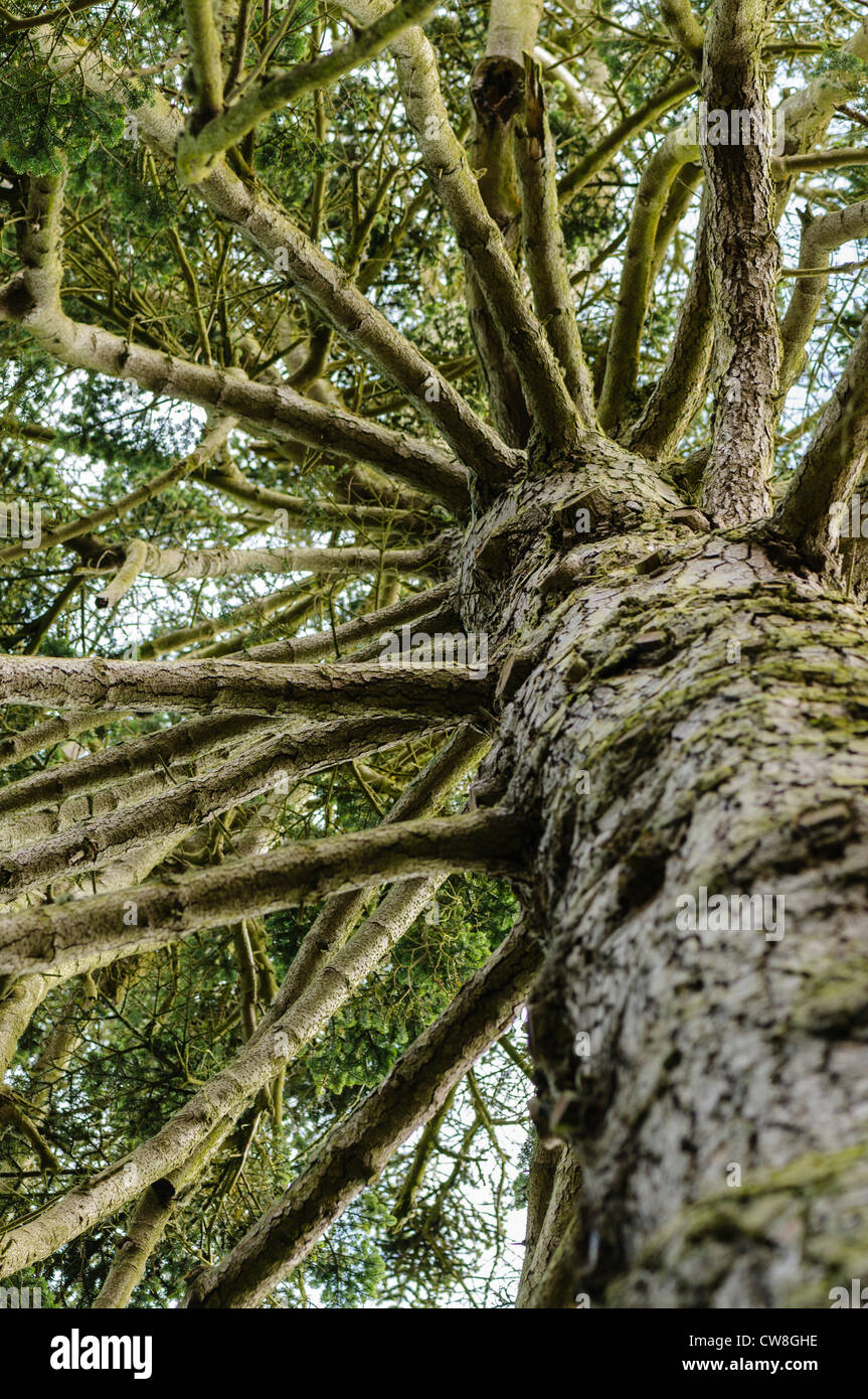 Looking up at the branches of a Nordmann Fir - Stock Image