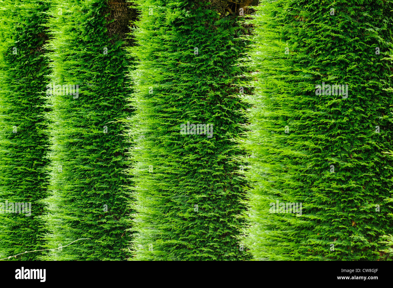 Sides of vertical parallel leylandii hedges - Stock Image