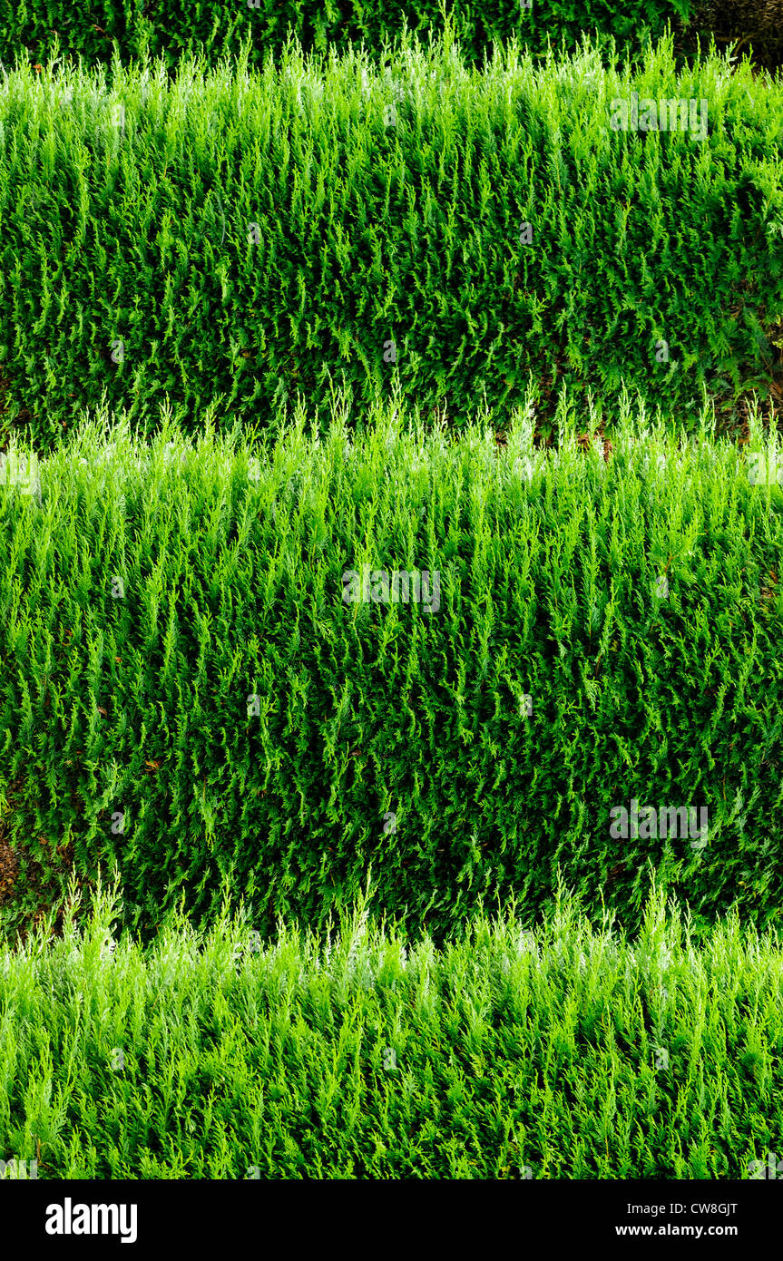 Tops of horizontal parallel leylandii hedges - Stock Image