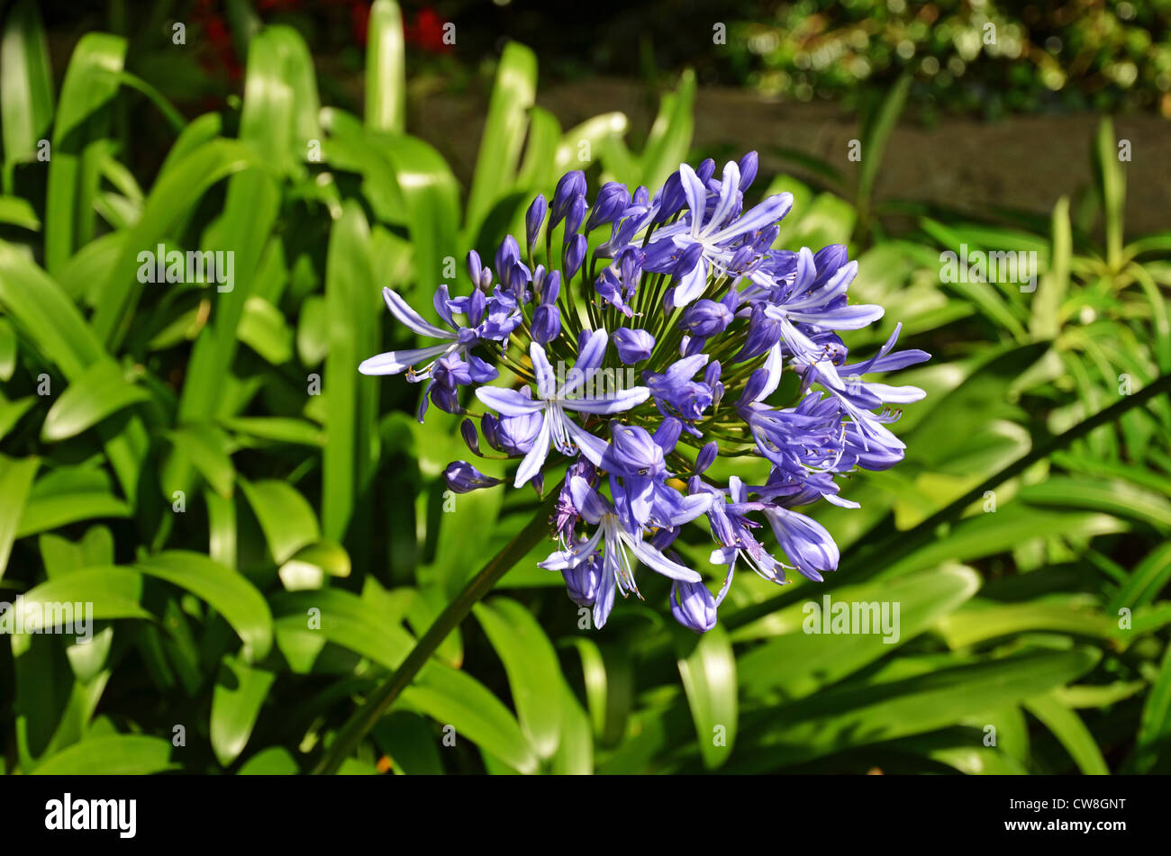 Agapanthus African Blue Lily A Hardy Perennial Stock Photo
