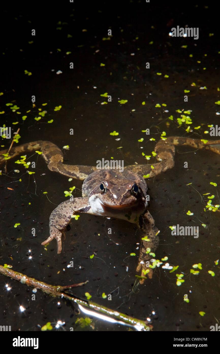 european common frog - Rana temporaria - Stock Image