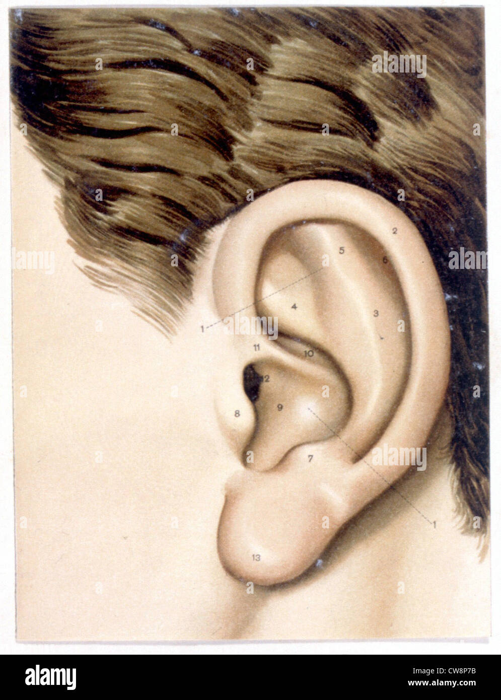 Anatomy Ear Human Outer Ear Medicine Drawing Sciences Stock Photos