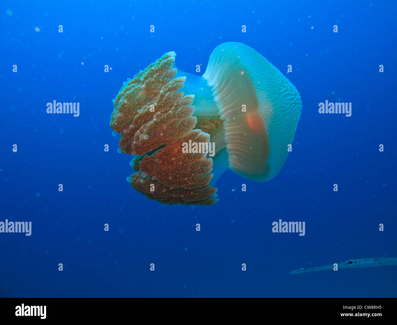 Closeup side view of almost transparent bioluminescent body of box jelly fish Rhizostome Cnidarians on Great Barrier - Stock Image