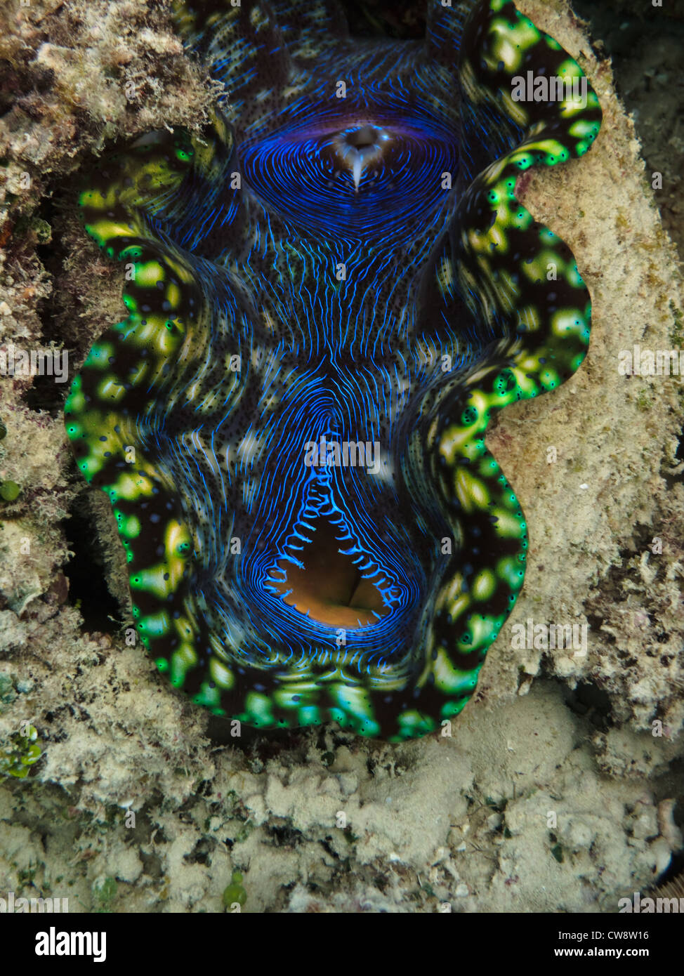 Closeup view of colorful open mouth of a giant clam, Tridacna Maxima, at Great Barrier Reef Marine Park Australia Stock Photo
