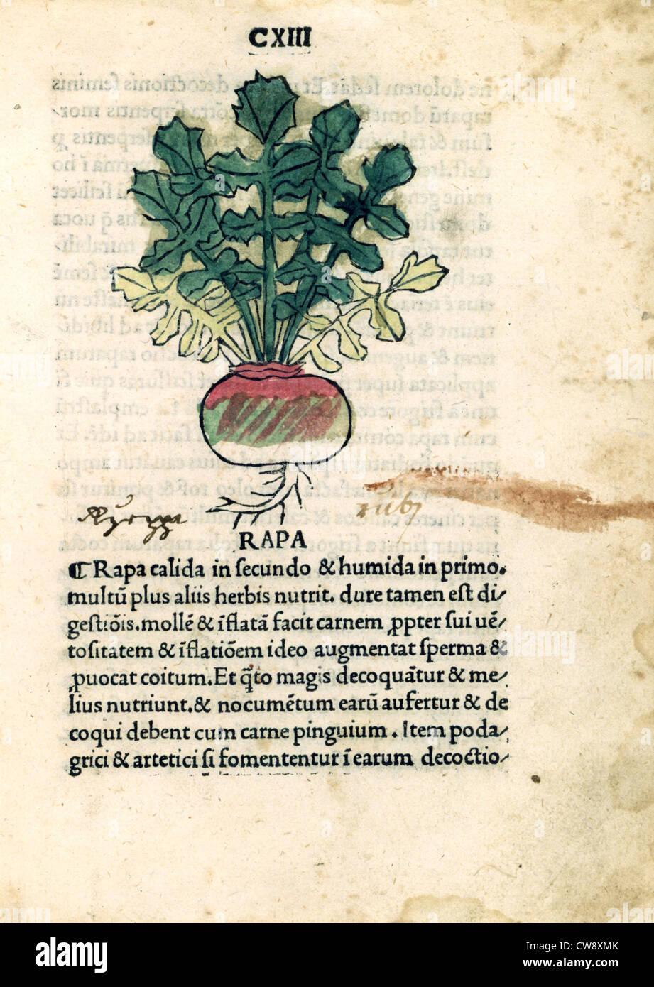 Early printed Herbarium of Venice, Radish - Stock Image