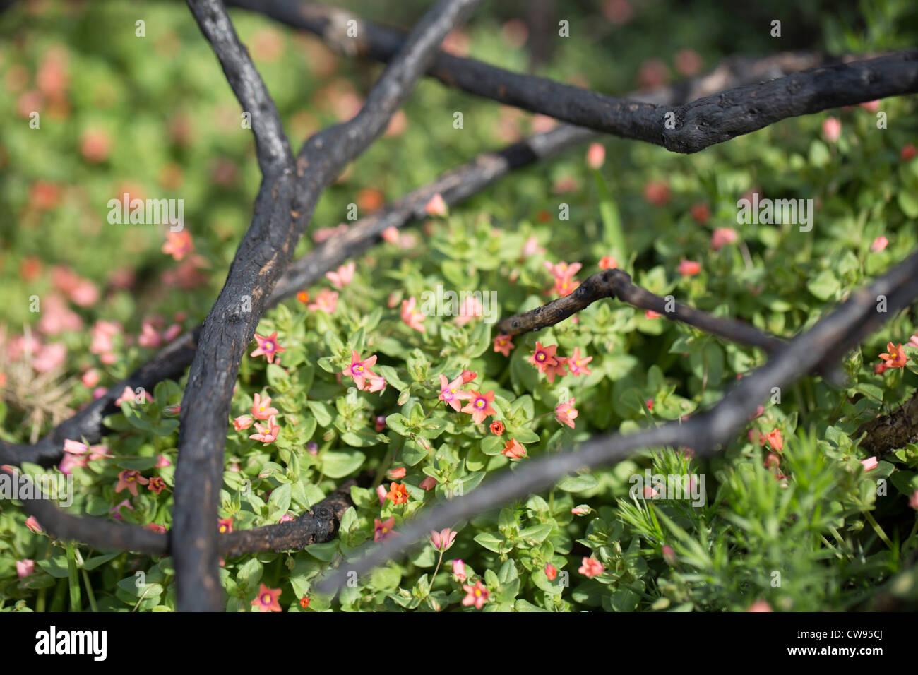 Burnt Gorse stems; Gower; Wales; UK; scarlet pimpernel in background - Stock Image