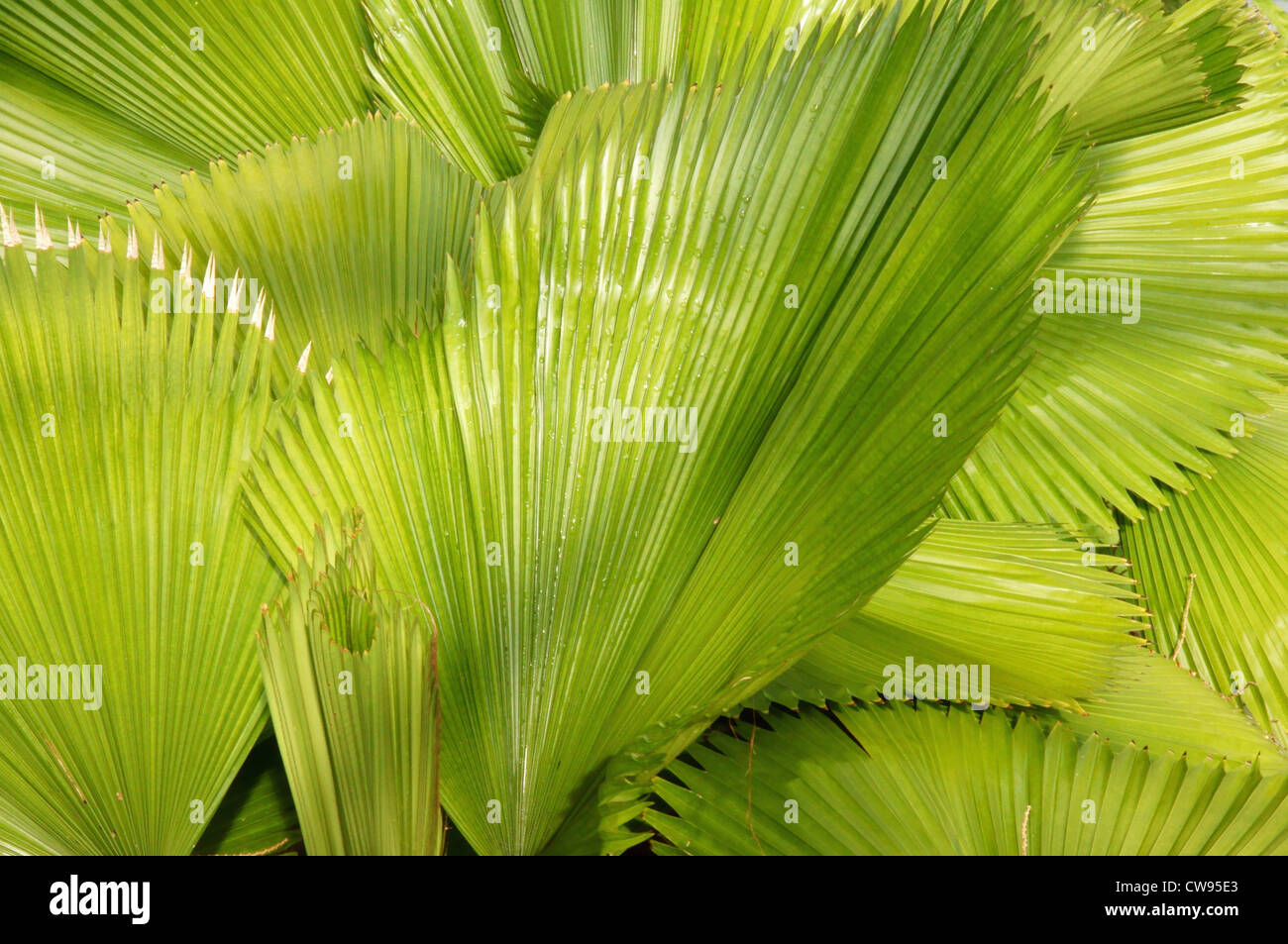 fan palm plant plants myriad botanical garden oklahoma city ok crystal bridge interior reno robinson streets - Stock Image