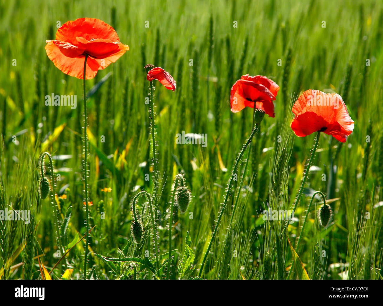 Red poppy flower in green wheat - Stock Image