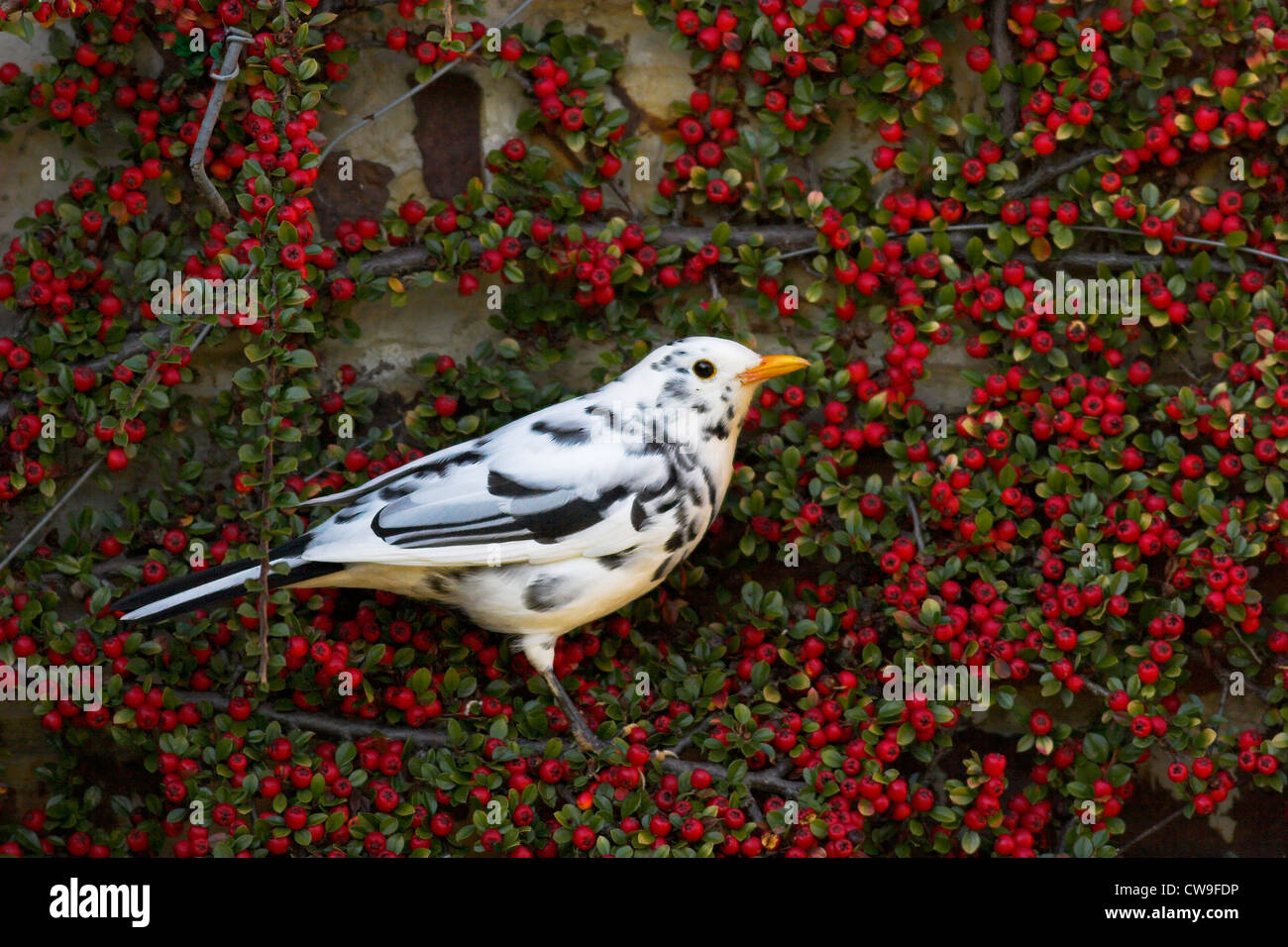 BLACKBIRD (Turdus merula) leucistic form on garden cotoneaster, Slaugham, Sussex, UK. - Stock Image
