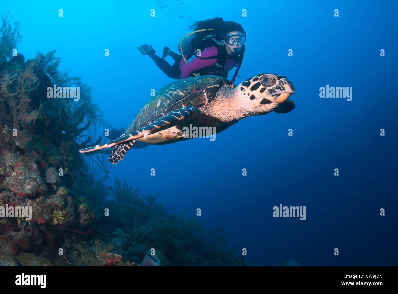 Female Scuba Diver with Hawksbill Turtle Eretmochelys imbricata, Belize, Caribbean Sea, Atlantic Ocean Stock Photo