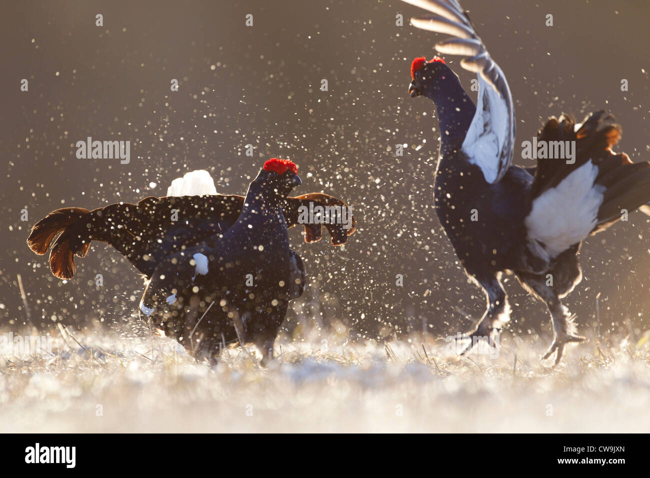 Black Grouse Tetrao tetrix males fighting at lek site in Kuusamo, Finland in April. - Stock Image
