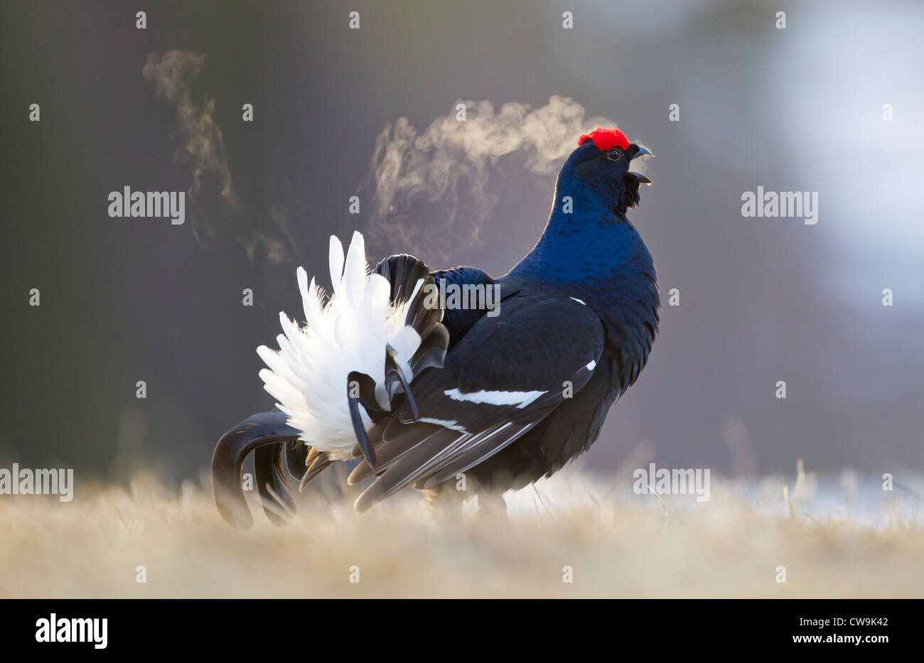 Black Grouse Tetrao tetrix male calling at lek site in Kuusamo, Finland in April. Stock Photo